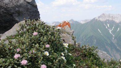 Photo of Редкие лекарственные травы – якорцы, саган-дайля
